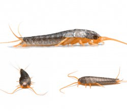 Getting Rid Of Silverfish